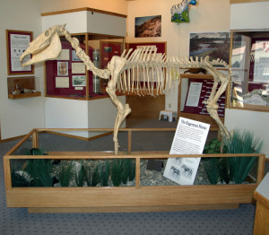 Hagerman Horse fossil.