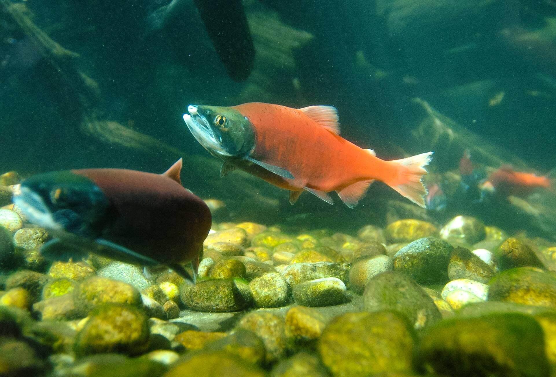 Freshwater aquarium fish boise idaho - Bright Red Kokanee Salmon