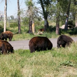 Yellowstone Bear World