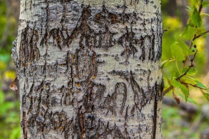 Arborglyph2