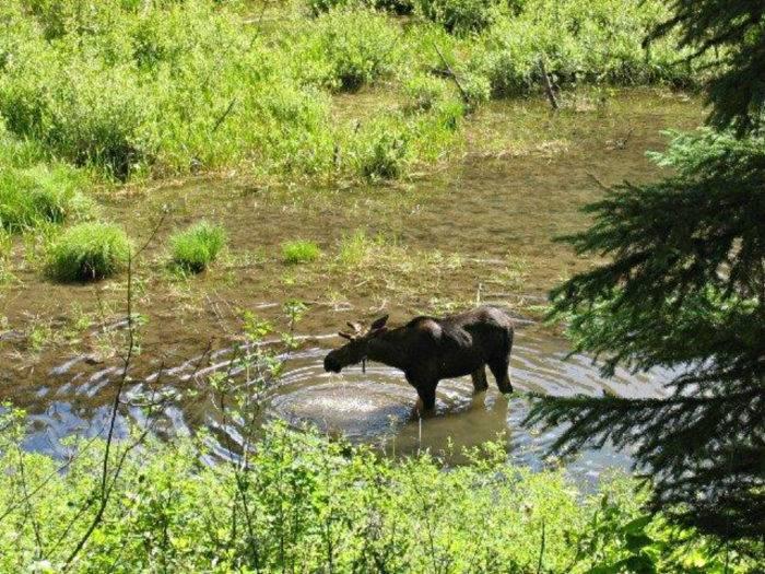 Hiawatha moose