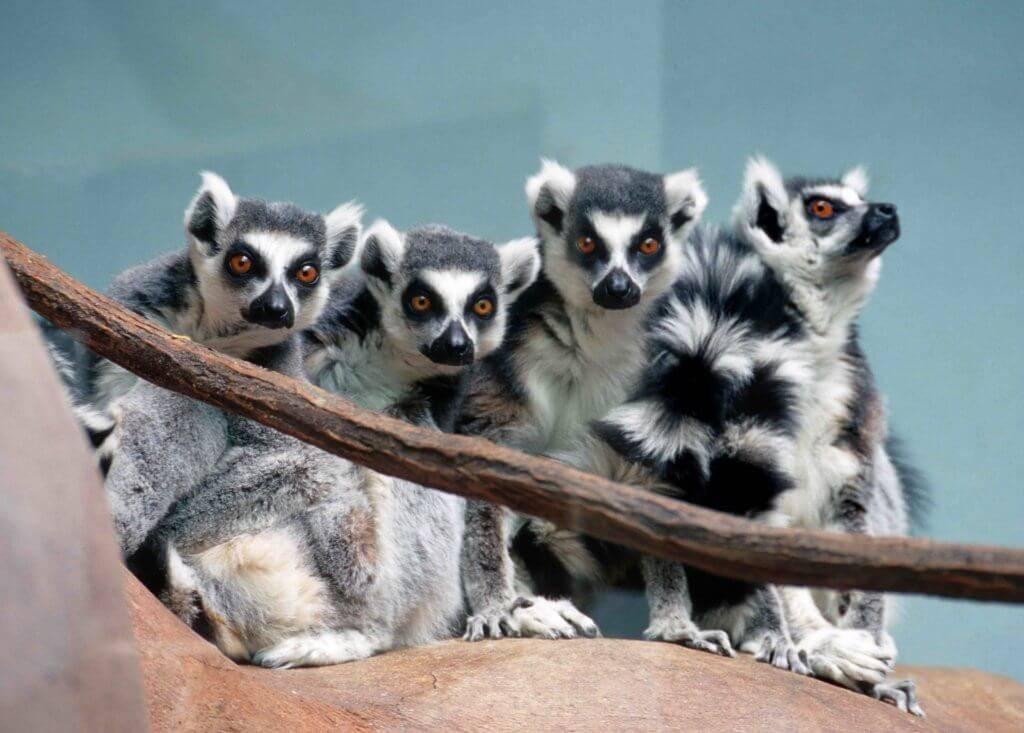 Lemurs at Zoo Boise.
