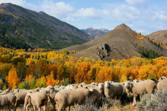 Sheep gather on the hillside before the downtown parade.