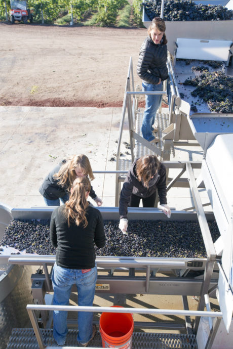 Removing stems from the grapes at Sawtooth Winery.