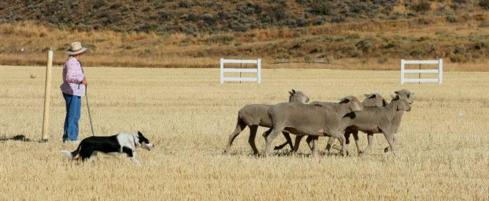 Sheep Dog Trials.