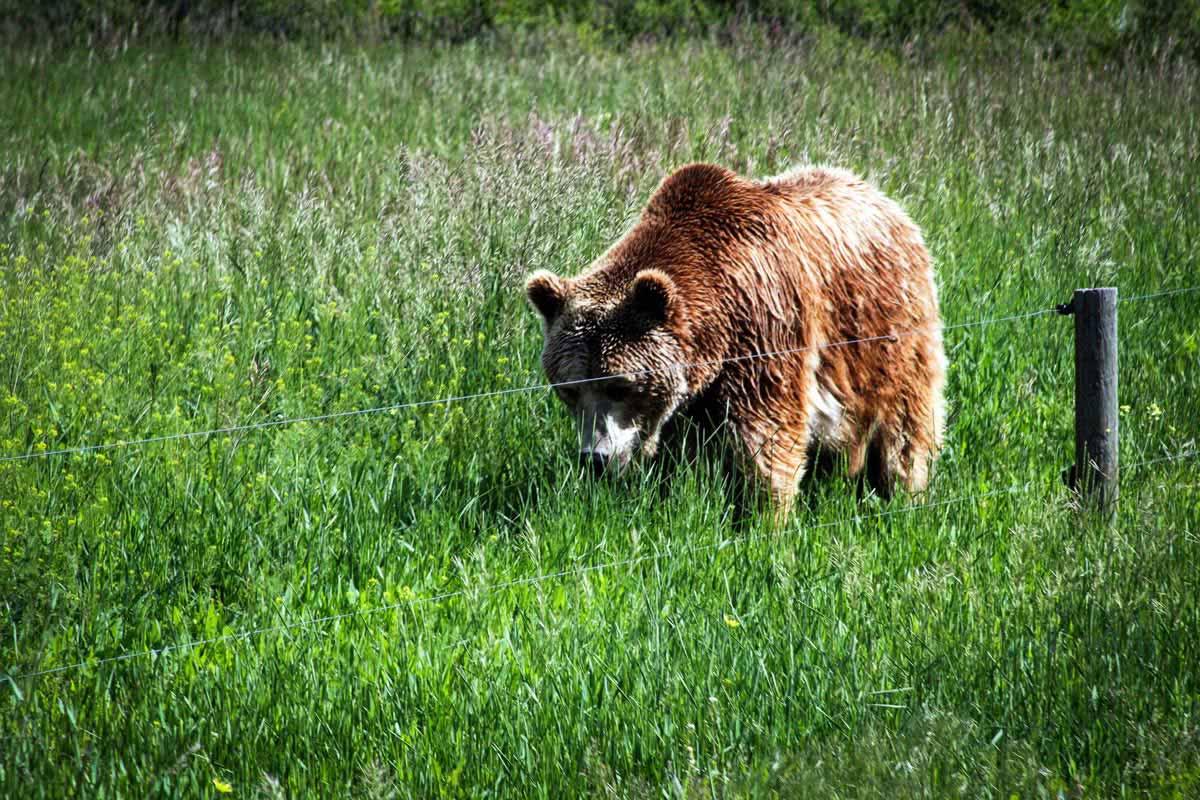 Yellowstone Bear World Visit Idaho