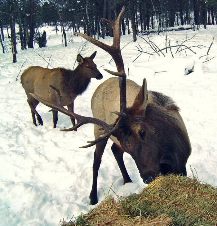 Elk feeding sleigh ride.