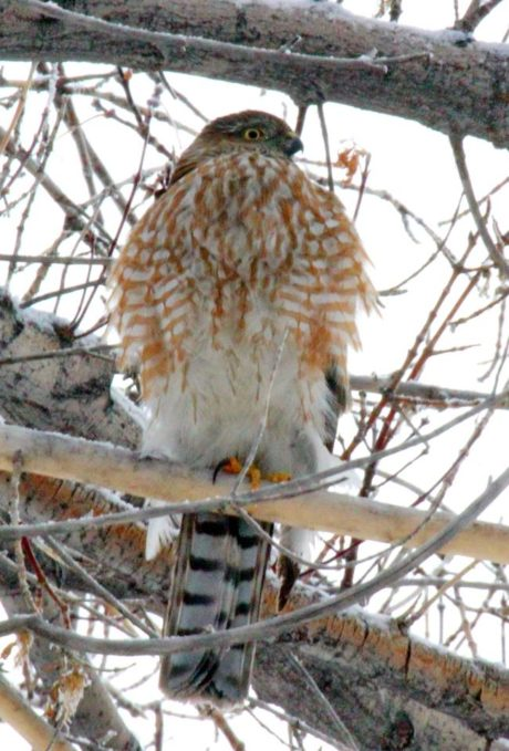 A Sharp Shinned Hawk sits in a tree. Photo Courtesy: Wallace Keck.