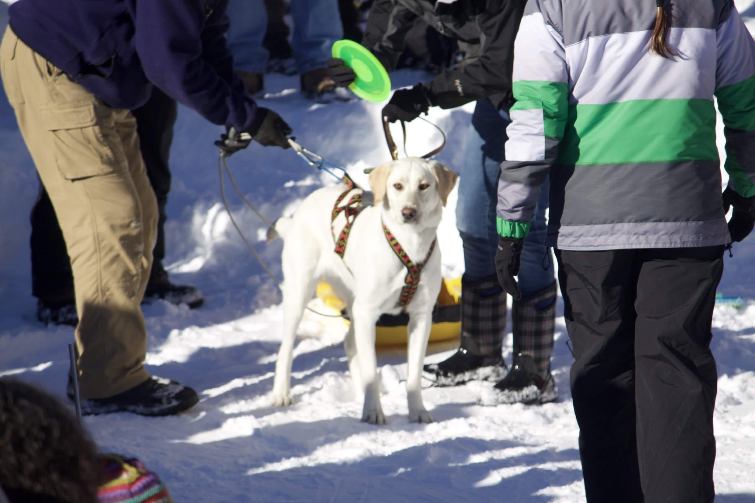 A dog pulling a sled.