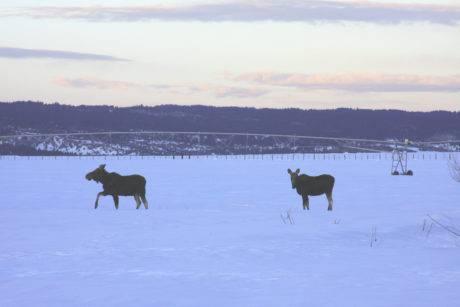 Moose at sunset in Ashton, Idaho.