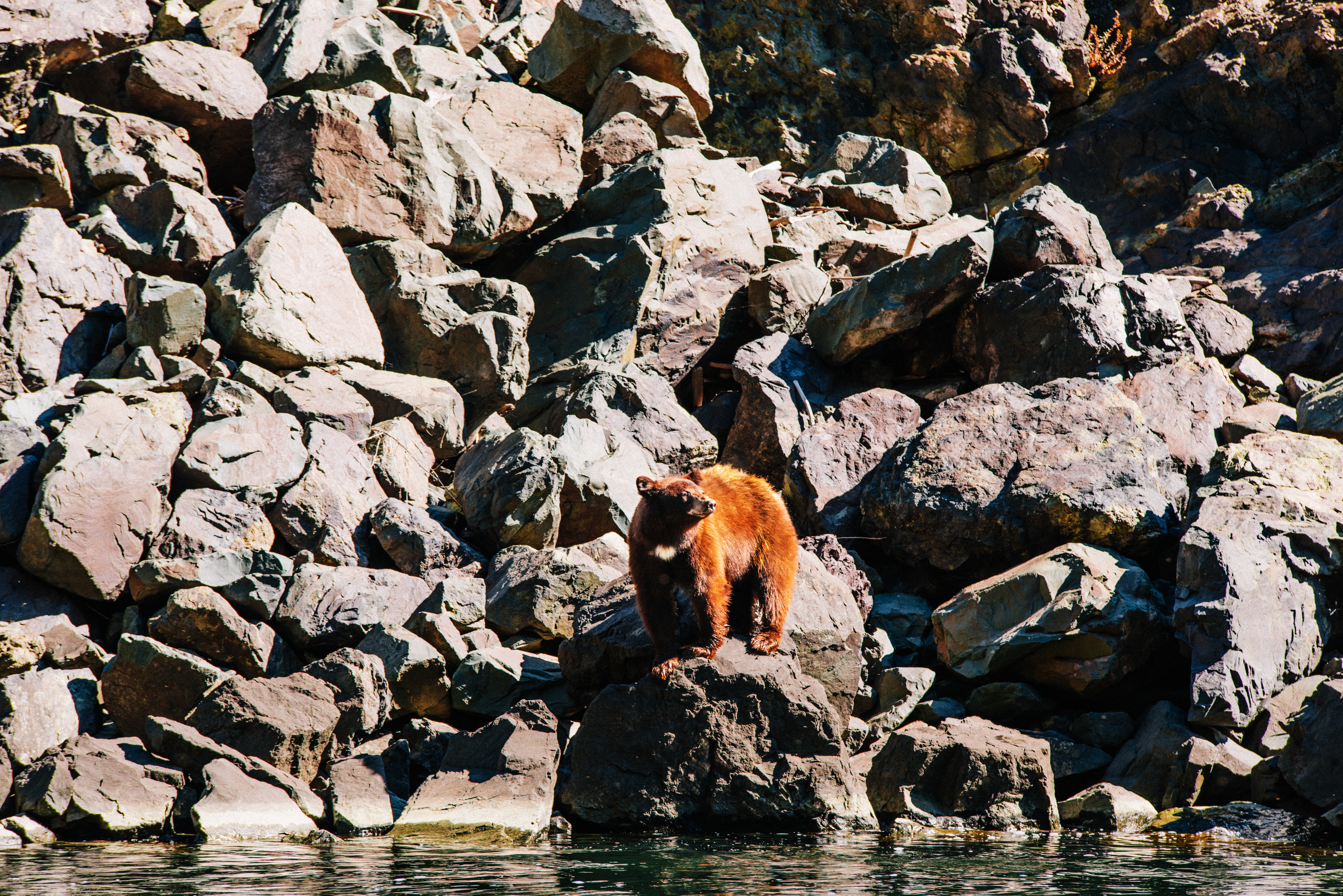 A bear ready for a dip in Hells Canyon. Photo Credit: Idaho Tourism