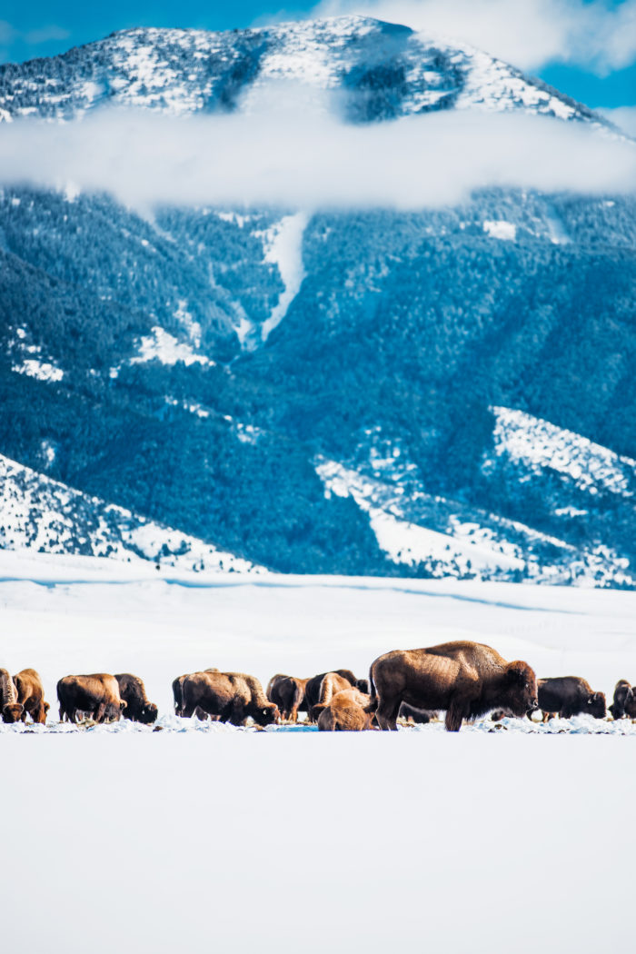 Bison feeding in a valley in the winter.