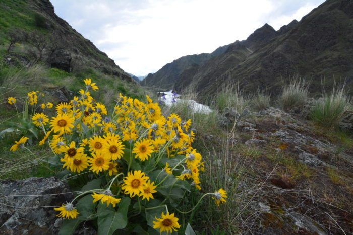 wildflowers in hells canyon