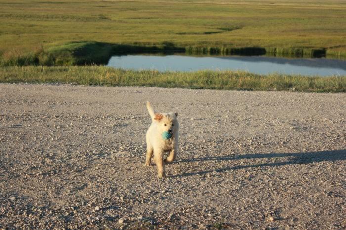 A dog running next to a pond.