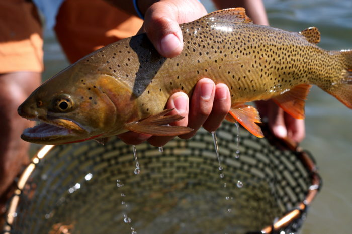 man holding large trout over net