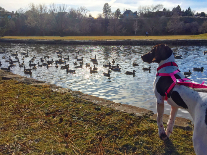 A dog looking at ducks in a park.