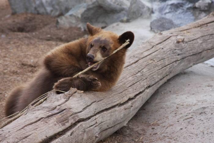 Bear cub at Yellowstone Bear World