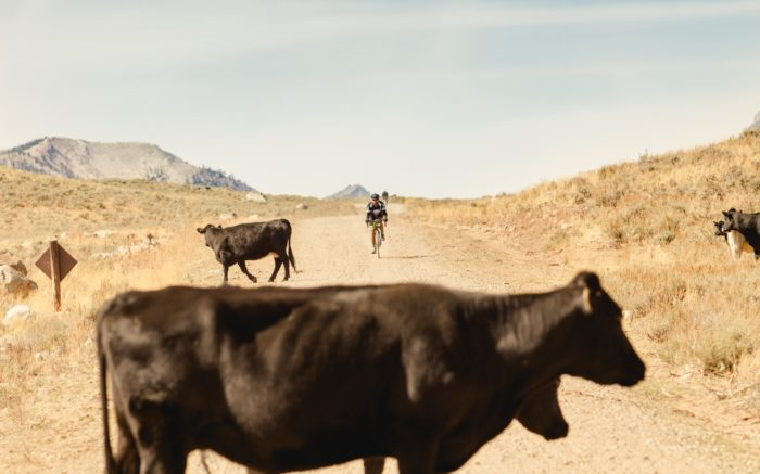 Oncoming rider approaches cows on the gravel road.