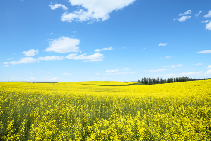 A field of gold Canola flowers on highway 95