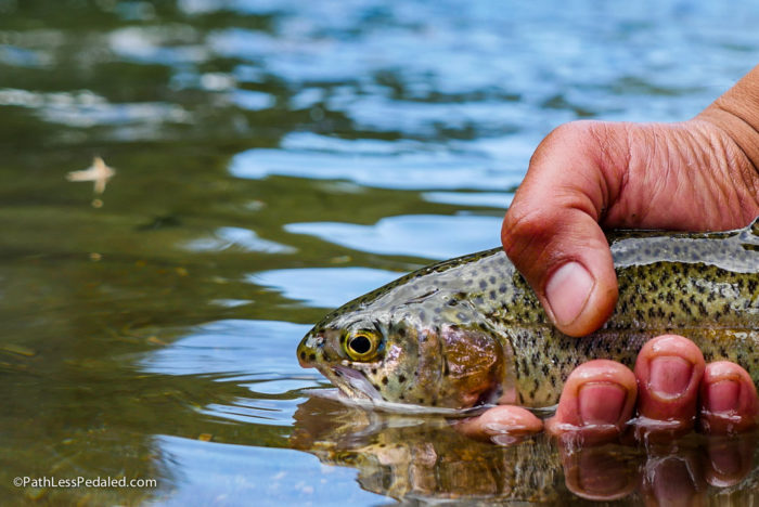 Trout in the big wood river.
