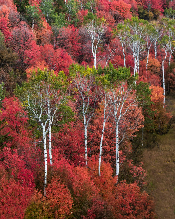 aspen trees with red leaves on the side of a hill