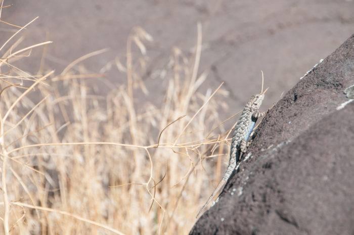 lizard laying in the sun