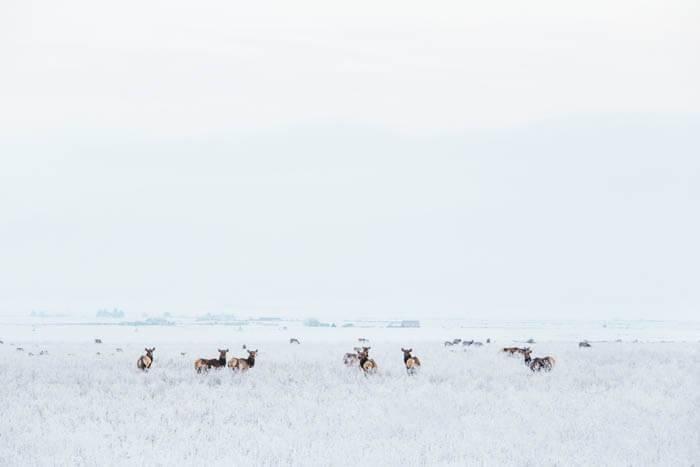 Elk, Chesterfield. Photo Credit: Idaho Tourism