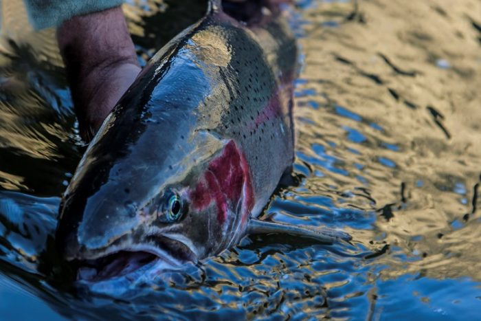 There's just something about a steelhead. Photo Credit: Mountain River Outfitters.