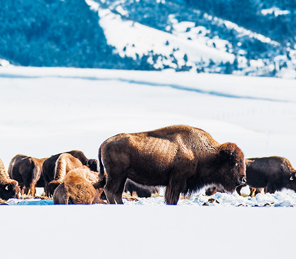 Bison, Victor. Photo Credit: Idaho Tourism