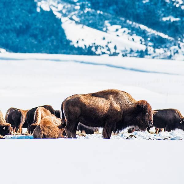 bison-victor