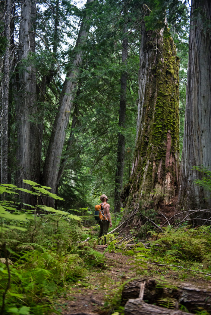 man standing in grove of giant cedar trees