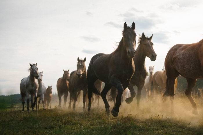 large herd of horses running
