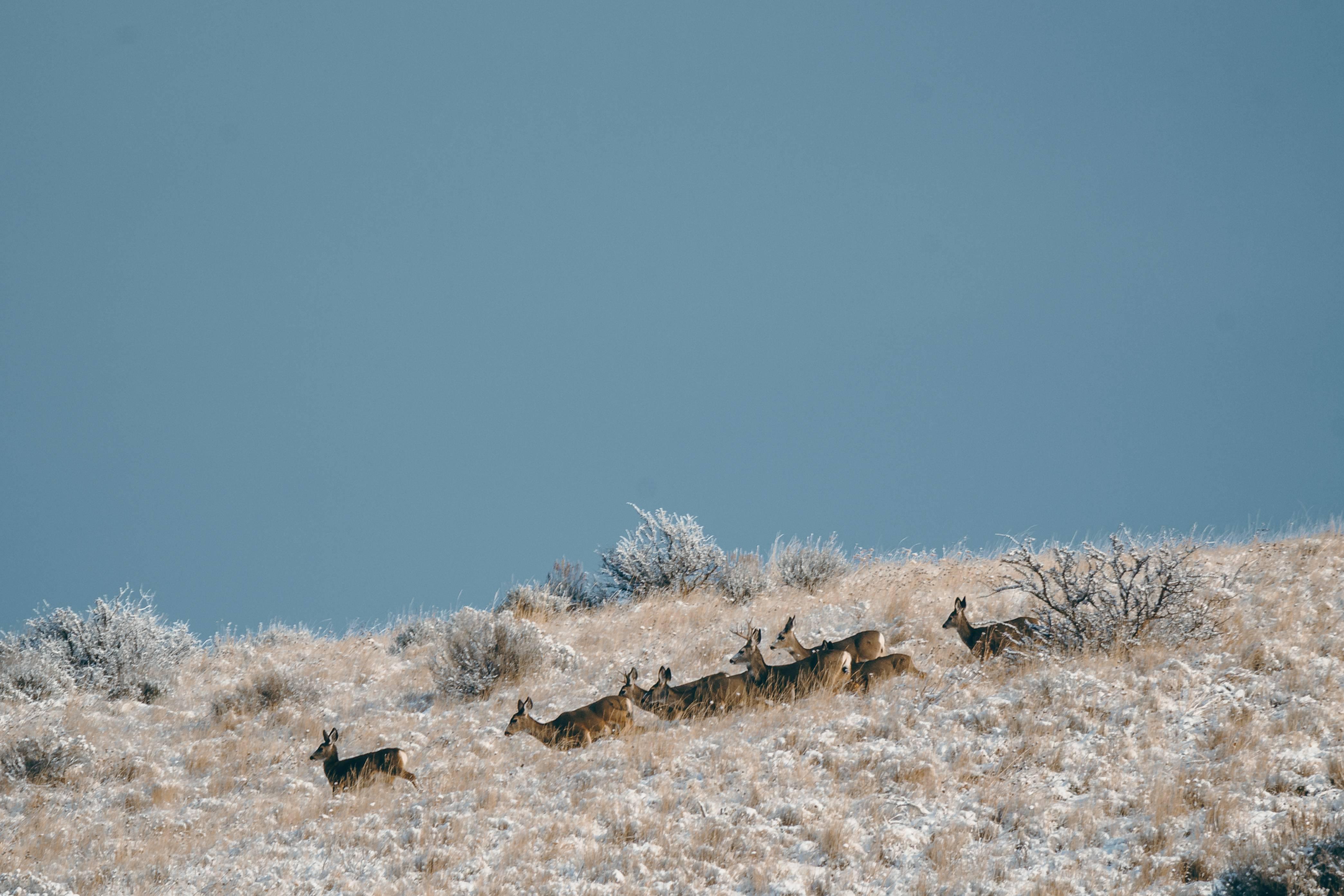 deer on snowy hill