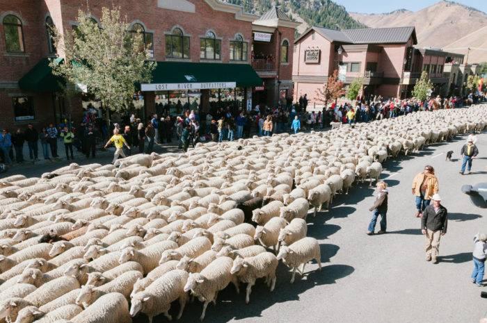 sheep walking through downtown