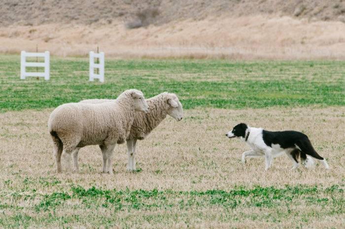 dog working with sheep
