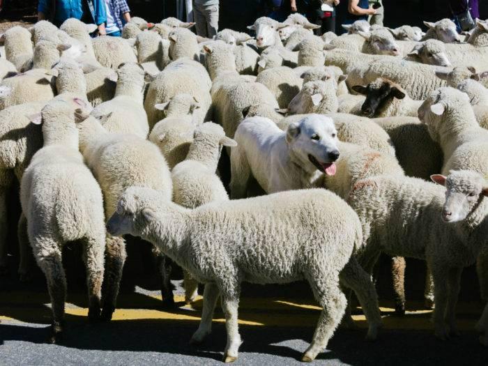 dog in sheep herd