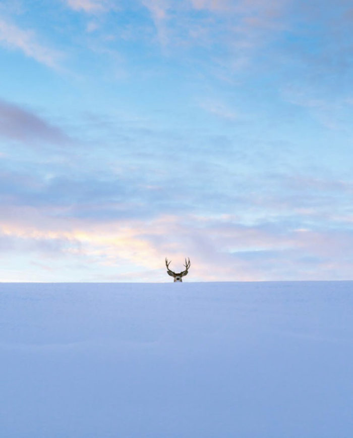 An elk looking over a mound of snow.