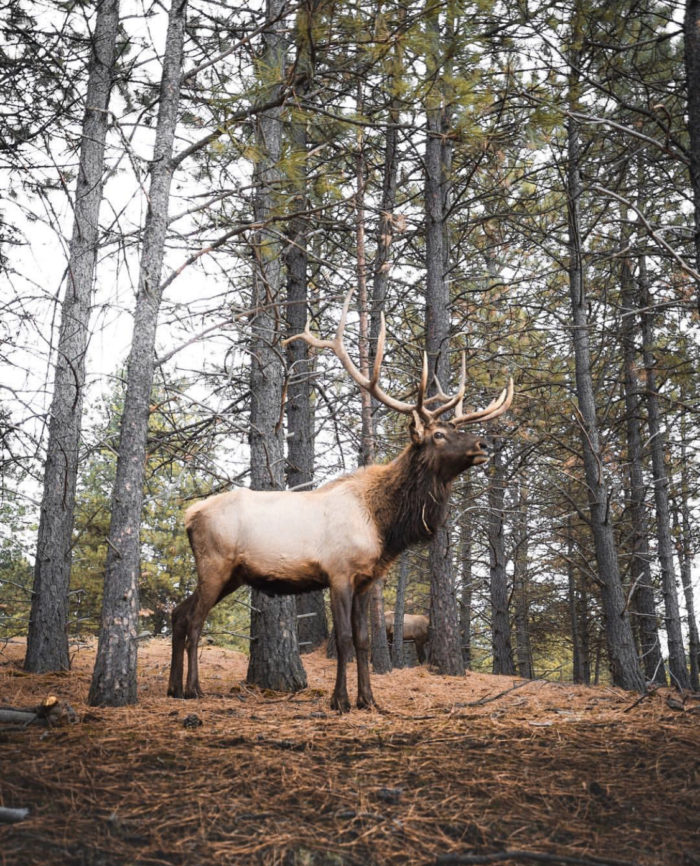 An elk standing in a forest