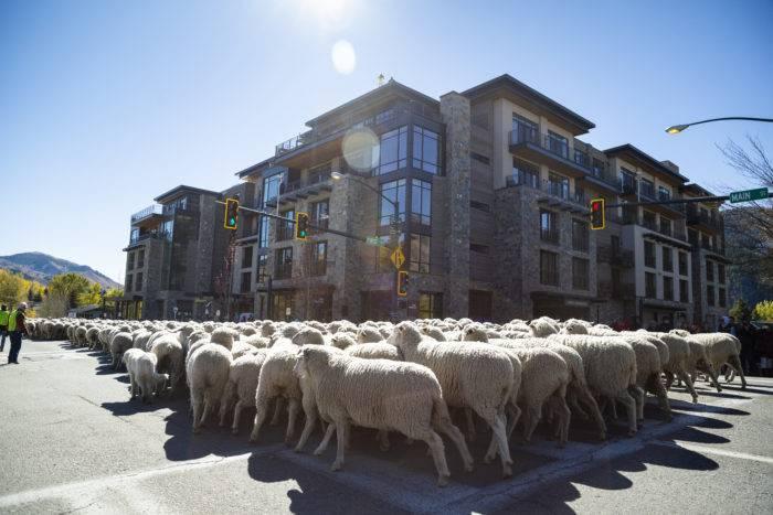 sheep herd moving down street
