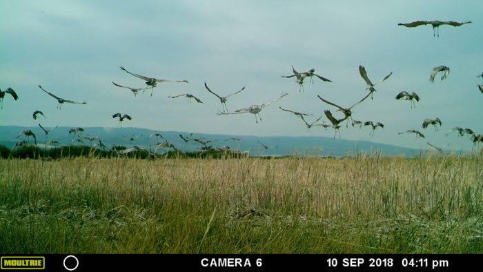sandhill cranes flying