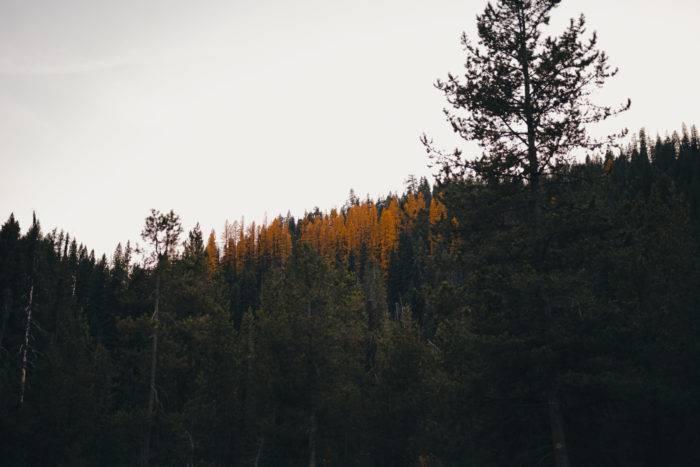 yellow western larch warm lake