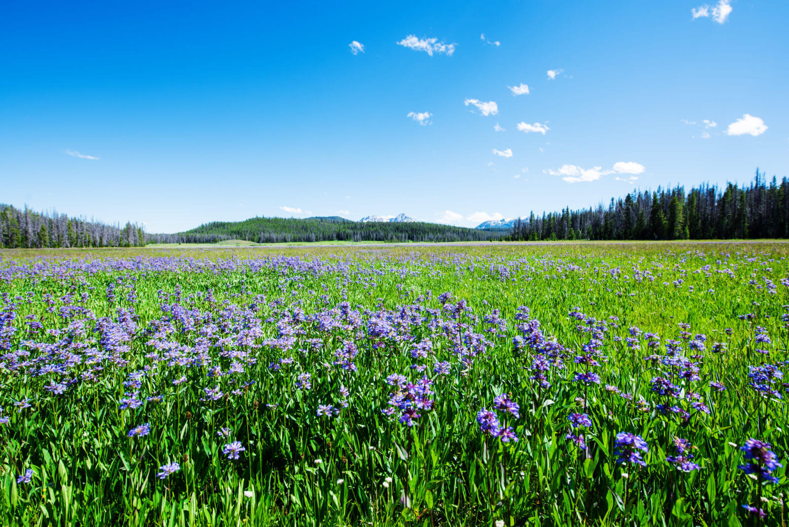 Purlple wildflowers in a green meadow with mountains in the distant background