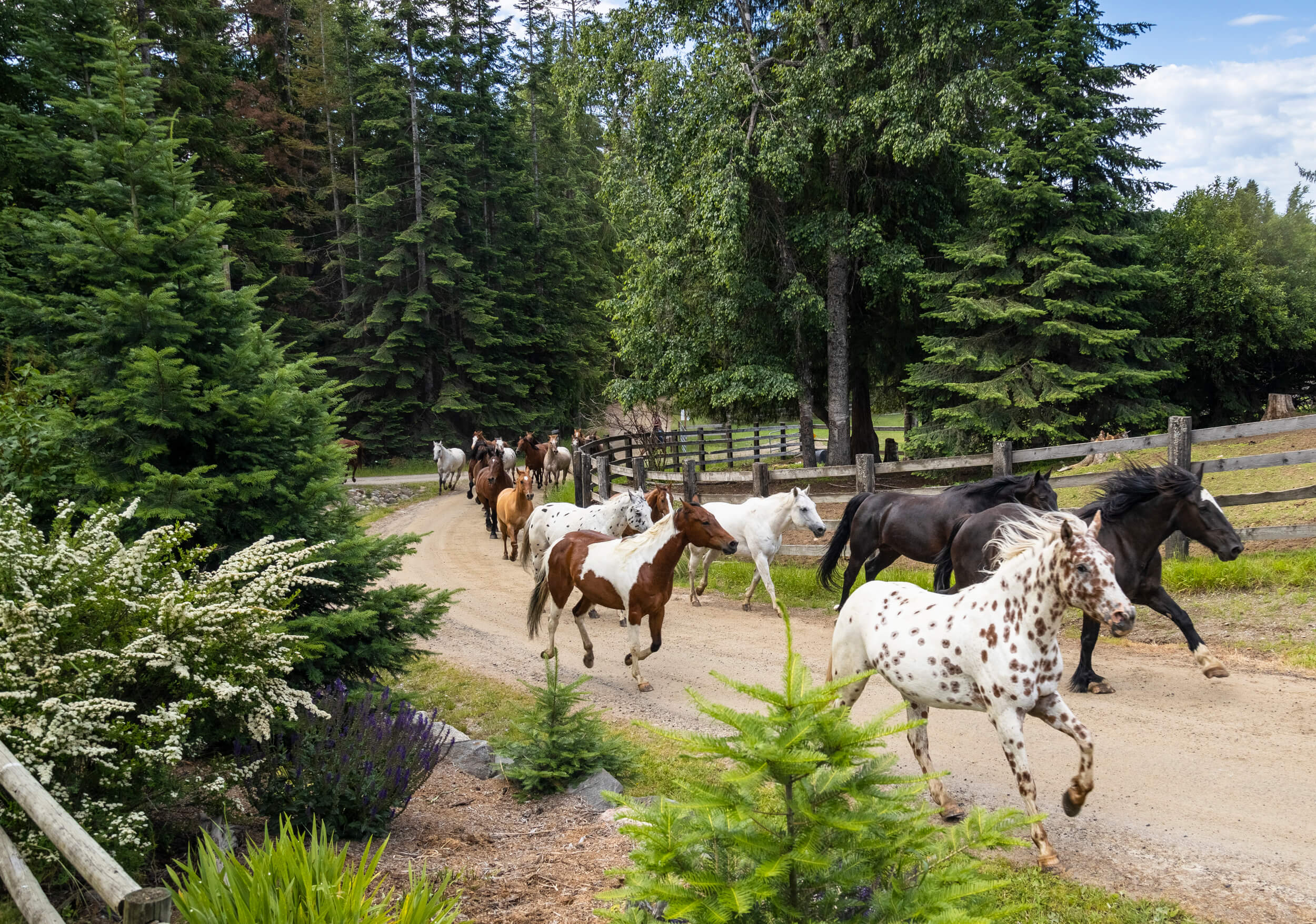 horses running at Western Pleasure in Idaho
