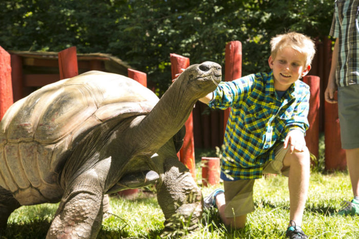 Smiling young boy wearing tan shorts and green plaid short sleeve shirt touches a giant tortoise.