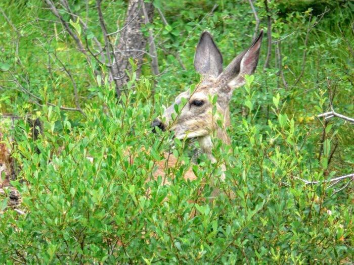 mule deer in brush