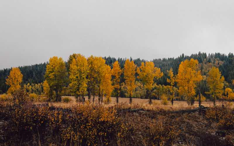 roadside view of trees with yellow foliage and a forest of green trees in the background
