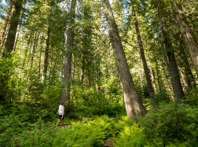 a person walking amidst a dense forest of tall tree