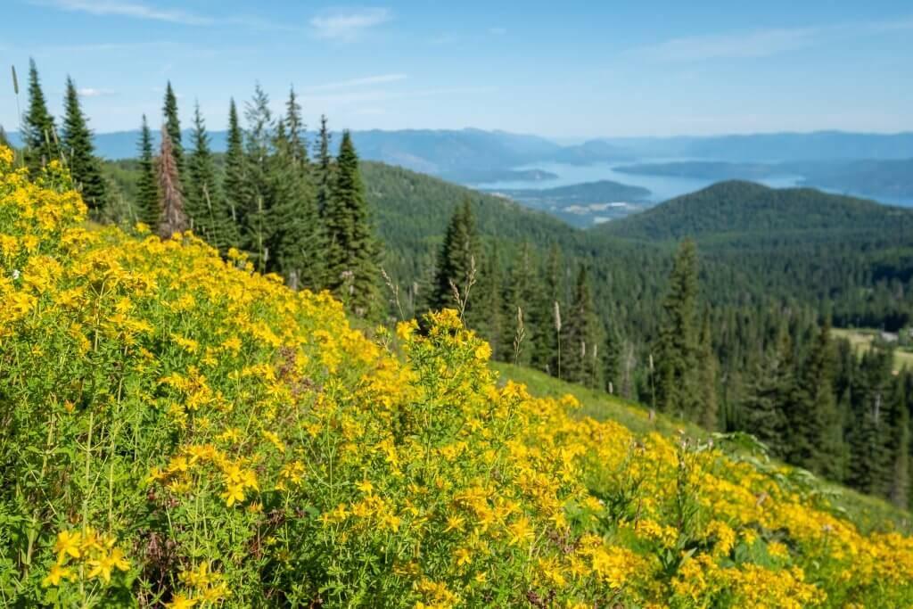 field of yellow wild flowers