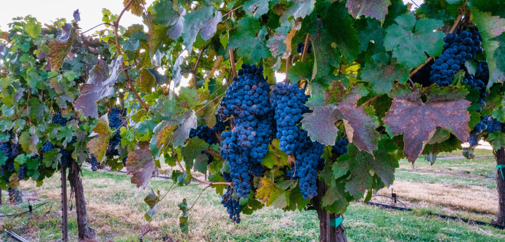 a vineyard of red wine grapes